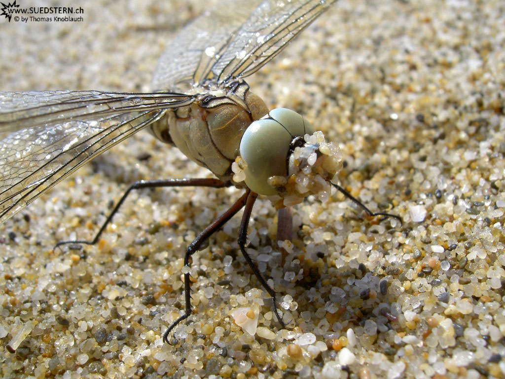 close up of a Dragonfly (PICT4087)
