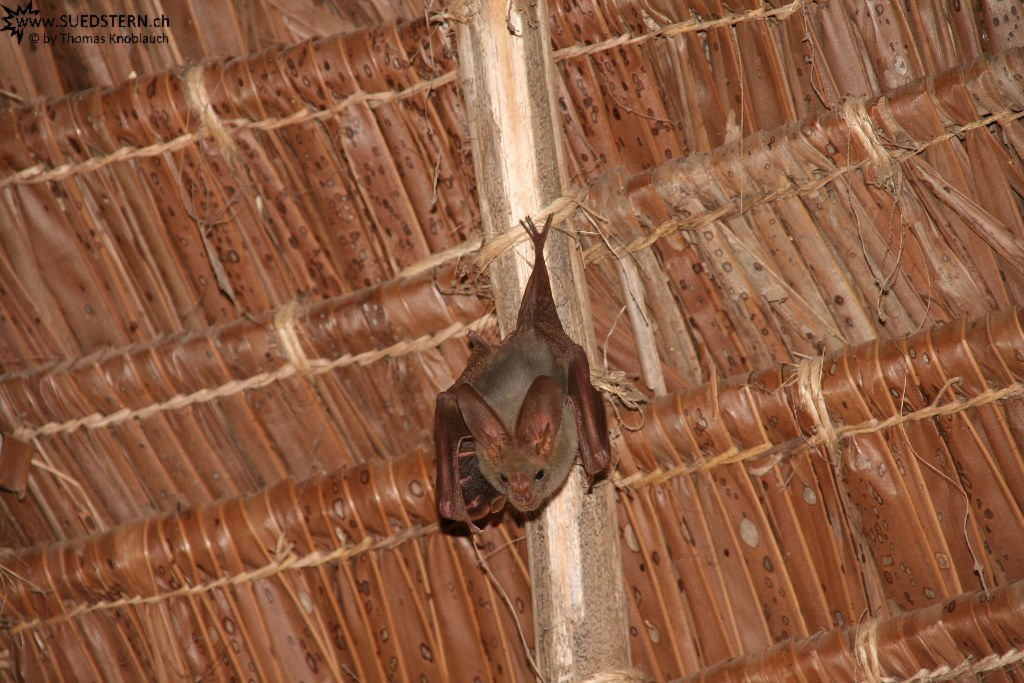 IMG 7700-Kenya, flying fox at Crocodile Camp in Tsavo East