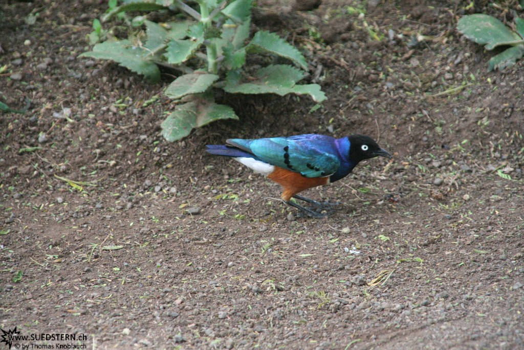 IMG 7927-Kenya, superb starling seen in Kimana Reserve