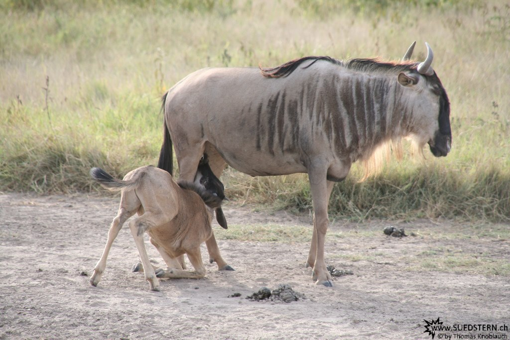IMG 7966-Kenya, mama and baby wildebeest in Kimana Reserve