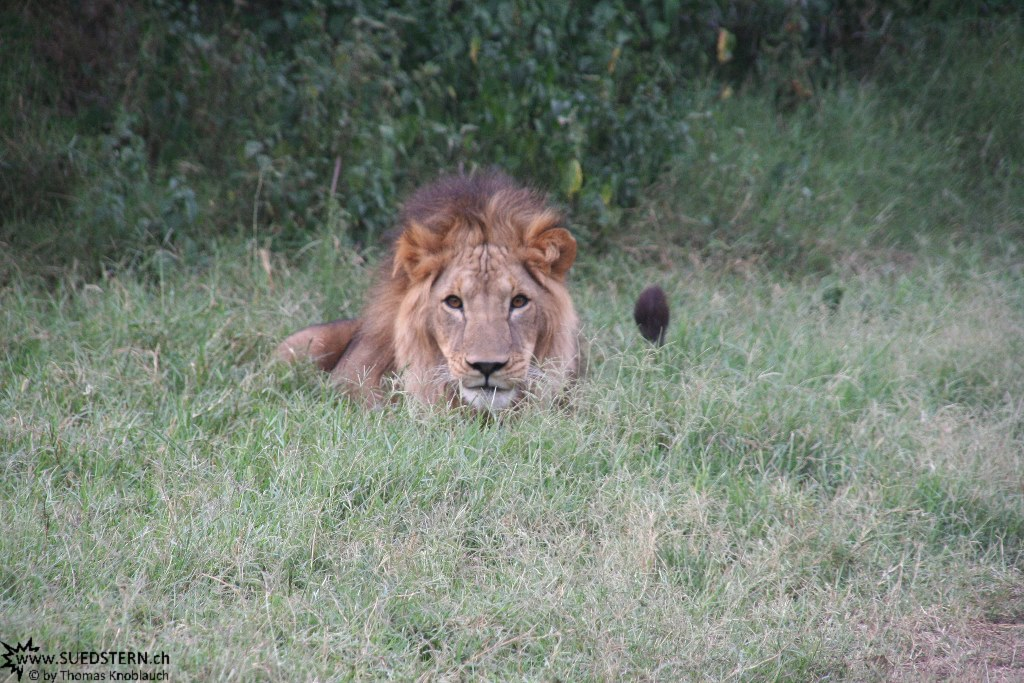 IMG 7978-Kenya, male lion in Kimana Reserve