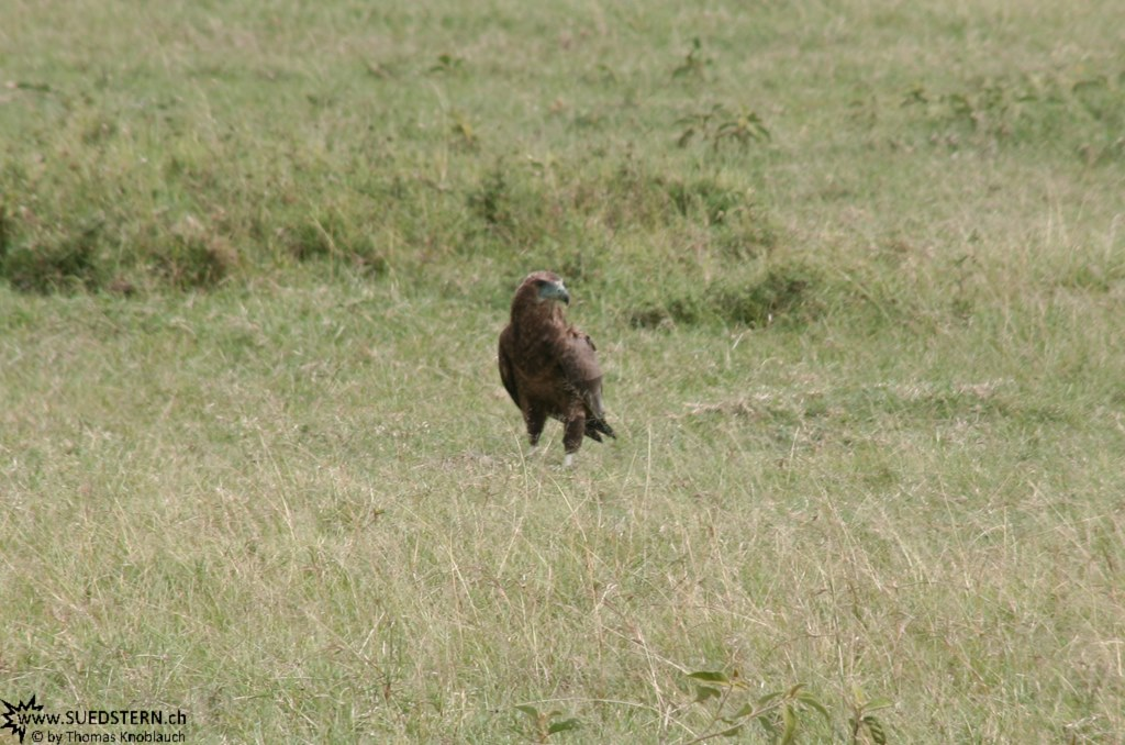 IMG 8531-Kenya, raptor seen in Masai Mara