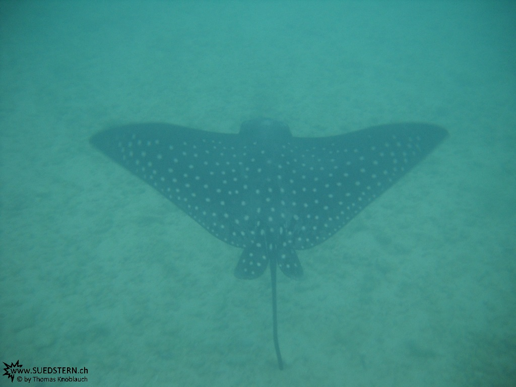 Eagle Ray - Underwater Galapagos 2010 -DSCN5706