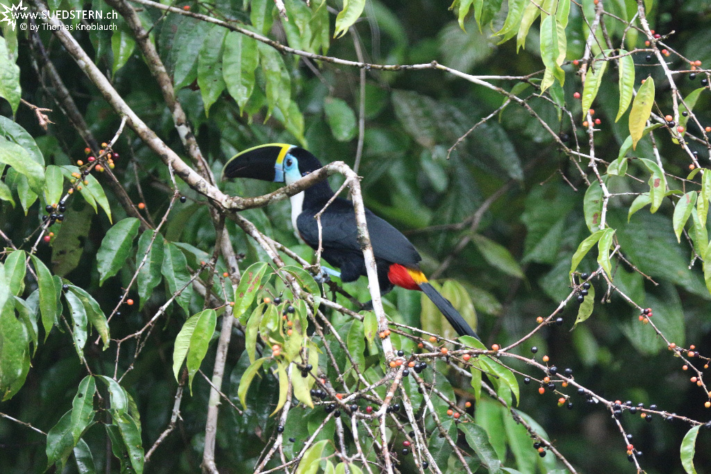 Cuyabeno (Ecuador) - With-throated Tucan - IMG 5342