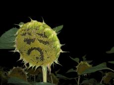 A not so happy sunflower