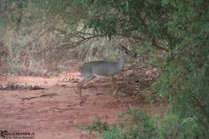 IMG 7527-Kenya, this animal is called Dik-Dik