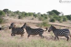 IMG 7551-Kenya, zebras at Tsavo East