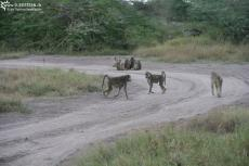 IMG 7776-Kenya, group of baboons in Kimana Reserve