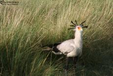 IMG 8314-Kenya, secretary bird in Masai Mara