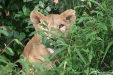 IMG 8475-Kenya, lion looks out of a bush, Masai Mara