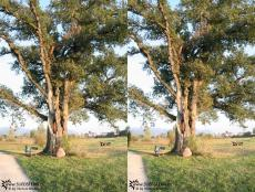 My first 3D picture afascionating, old tree