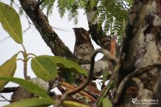 Cuyabeno (Ecuador) - Common Potoo with child - IMG 5695